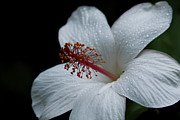 Alabaster Framed Prints - Alabaster White Hibiscus Framed Print by Karon Melillo DeVega