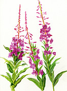 Fire Weed Prints - Alaska Fireweed Print by Sharon Freeman