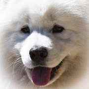 White Dog Prints - Alaskan Malamute II Print by David Patterson