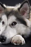 Malamute Prints - Alaskan Malamute Looking At Camera Print by Apple Tree House