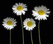 Scanography Photos - Alaskan Shasta Daisies by Deborah J Humphries