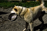 Urinating Posters - Alaskan Sled Dog Carrying Bowl Poster by Sally Weigand