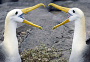 Waved Albatross Photos - Albatross Courtship by Max Waugh