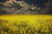 Dark Clouds Framed Prints - Alberta, Canada A Canola Field Under Framed Print by Darren Greenwood