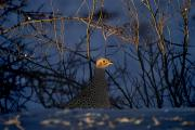 Pheasant Photos - Alberta, Canada Female Ring-necked by Philippe Widling