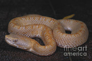 Featured Art - Albino Slender Hognosed Pitviper by Dante Fenolio