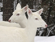 Two Tailed Photo Prints - Albino White Tailed Deers Print by Photos by Michael Crowley