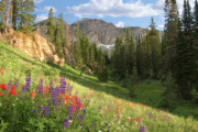 Wildflowers Prints - Albion Basin Wasatch Mountains Utah Print by Utah Images
