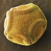 False Prints - Alder Tree Pollen Grain, Sem Print by Power And Syred