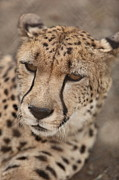Cheetah Photo Originals - Alert Cheetah by Jim Dicecco