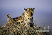 Alert Female Leopard Print by Greg Dimijian