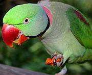 Feeding Photos - Alexandrine Parrot Feeding by ArtPhoto-Ralph A  Ledergerber-Photography