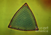 Featured Metal Prints - Algae, Diatom, Triceratium Ladus, Lm Metal Print by Eric Grave
