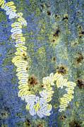 Algae Print by Dr Keith Wheeler
