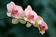 Orchid Flower Posters - All in a Row Poster by Don Schroder