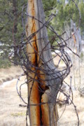 Barbed Wire Fences Photo Originals - All in a Tangle by Cynthia  Cox Cottam
