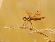 Dragon Fly Prints - All in the Eyes Print by Donna Caplinger