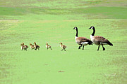 Canadian Geese Digital Art - All in the Family II by Suzanne Gaff