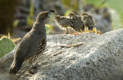 Quail Photos - All in the Family  by Saija  Lehtonen