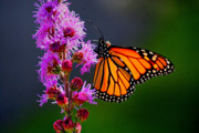 All Monarch Print by Emily Stauring