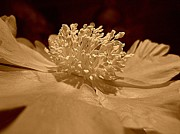 Sepia Prints - All My Glory Print by Shirley Sirois