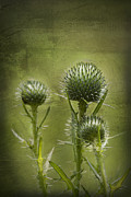 Bull Thistle Posters - All Prickles and Stings Poster by Kathy Clark