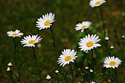 White Flower Photos - All the Daisies by Susanne Van Hulst