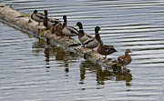 Mallards Prints - All The Ducks In A Row Print by Bob Christopher