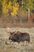 Bull Moose Posters - All Things Moose XIII Poster by John Blumenkamp