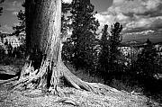 Tree Roots Photos - All This Time by Mike Irwin