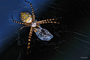 Dinner Posters - All Wrapped Up - Argiope Spider Poster by Karen Slagle