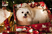 Maltese Dog Posters - All wrapped up Poster by Leslie Leda