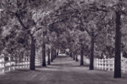 Tree Allee Framed Prints - Allee Way BW Framed Print by Steve Gadomski