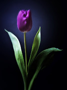 Mixed Media Photos Posters - Allegria - Purple Tulip Flower Photograph Poster by Artecco Fine Art Photography - Photograph by Nadja Drieling