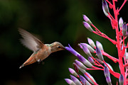 Bromeliad Posters - Allens Hummingbird at Breakfast Poster by Mike Herdering