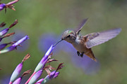 Bromeliad Posters - Allens Hummingbird Poster by Mike Herdering