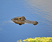 American Alligator Prints - Alligator Afloat Print by Al Powell Photography USA
