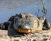 Reptilia Prints - Alligator Approach Print by Al Powell Photography USA