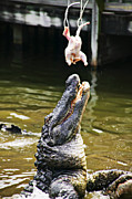 Hunger Framed Prints - Alligator Feeding Framed Print by Garry Gay