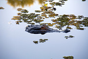 Gary  Taylor - Alligator