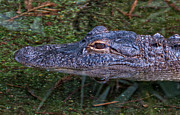Head Shot Photos - Alligator by Linda Pulvermacher
