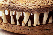 Reptile Photos - Alligator skull teeth by Garry Gay