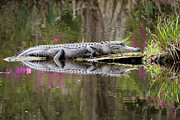 Symmetry Prints - Alligator Sunbathing Print by Daniela Duncan