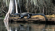Reptile Photos - Alligator Sunning by Barbara Bowen