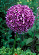 Color Purple Framed Prints - Allium Globemaster Framed Print by Suzie Gibbons