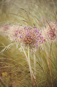 Dry Metal Prints - Allium Purple Sensation Metal Print by Jacky Parker Photography