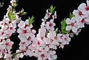 March Photos - Almond Blossom 0979 by Michael Peychich