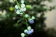 Blueberries Greeting Card Posters - Almost Blueberries Poster by Barbara S Nickerson