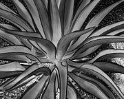 Aloe Framed Prints - Aloe Black and White Framed Print by Rebecca Margraf