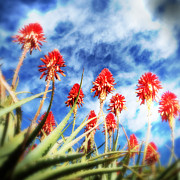 Aloe Framed Prints - Aloes Framed Print by Neil Overy